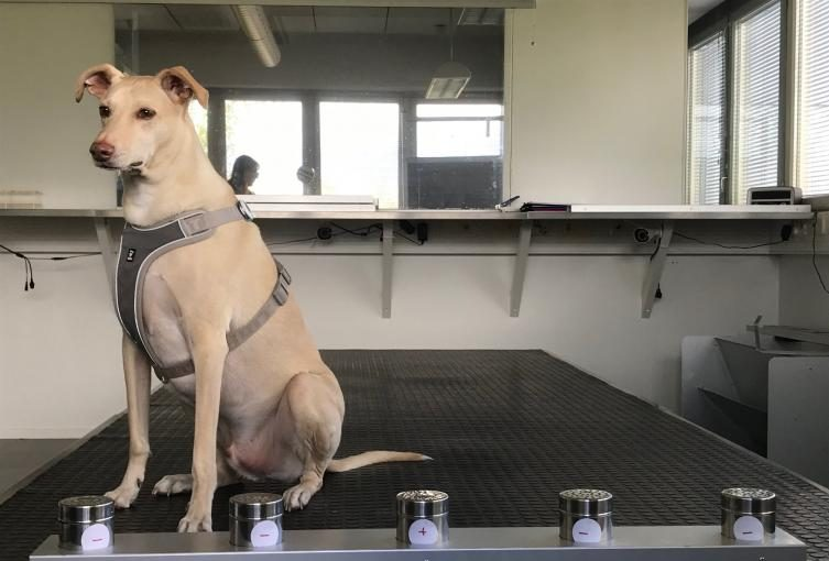 Hunden Kössi skal være med til at finde COVID-19-smittede personer i Helsinki Airport. Foto: Finavia